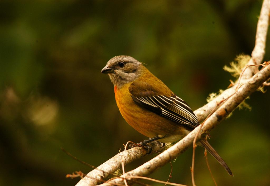 Birding at Cinchona Gardens